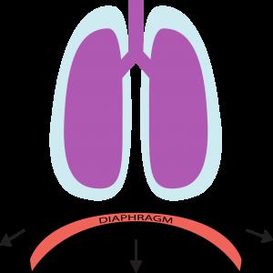 diaphragm function for core stability » hans lindgren dc, Human body